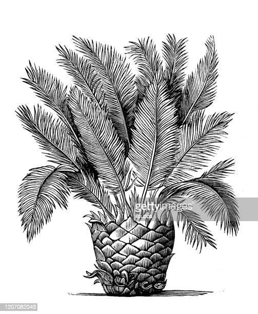illustrazioni stock, clip art, cartoni animati e icone di tendenza di illustrazione botanica antica: cycas revoluta, palma sago, re sago - re nobile