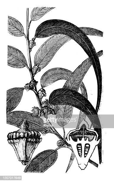 アンティーク植物学のイラスト:ユーカリ球体、南ブルーガム - ユーカリの葉点のイラスト素材/クリップアート素材/マンガ素材/アイコン素材