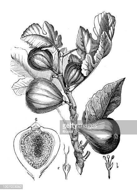 antique botany illustration: fig tree - fig tree stock illustrations