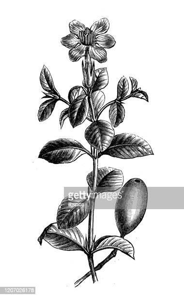 アンティーク植物のイラスト:ガーデニアジャスミン、クチナシ、ケープジャスミン - ジャスミン点のイラスト素材/クリップアート素材/マンガ素材/アイコン素材