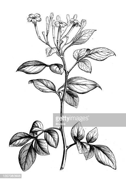 アンティーク植物学のイラスト:ジャスミン、ジャスミン - ジャスミン点のイラスト素材/クリップアート素材/マンガ素材/アイコン素材