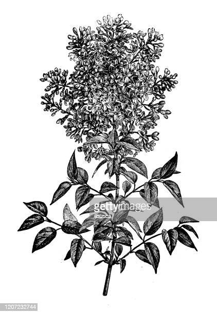 アンティーク植物学のイラスト:メリアアゼダラッハ、チャイナベリーツリー、インドの誇り - ニーム点のイラスト素材/クリップアート素材/マンガ素材/アイコン素材