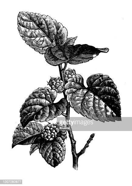 アンティーク植物学のイラスト:モルスアルバ、白桑 - マルベリー点のイラスト素材/クリップアート素材/マンガ素材/アイコン素材