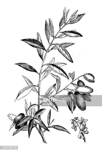 アンティーク植物学のイラスト:オリーブ、オレア・エウロパエア - オリーブの木点のイラスト素材/クリップアート素材/マンガ素材/アイコン素材