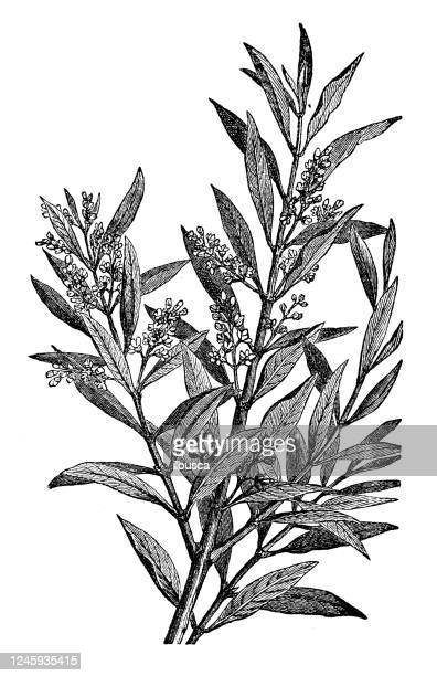 antique botany illustration: olive tree - olive branch stock illustrations