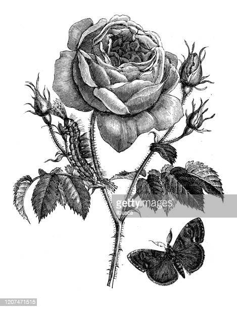 antike botanik illustration: rose - rosa stock-grafiken, -clipart, -cartoons und -symbole