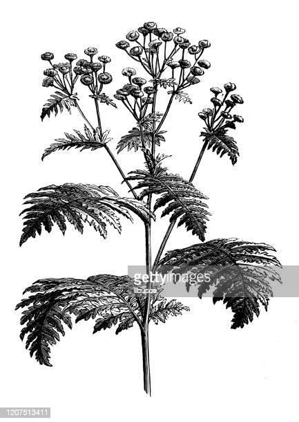 antique botany illustration: tansy (tanacetum vulgare) - tansy stock illustrations