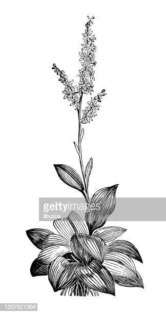 アンティーク植物学のイラスト:ベラトラムのアルバム(偽のヘレボリン、白いヘレボア) - バイケイソウ点のイラスト素材/クリップアート素材/マンガ素材/アイコン素材