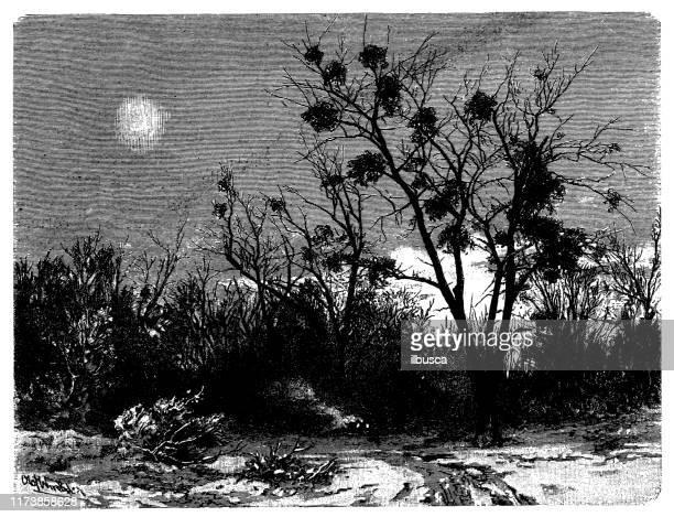 antique botany illustration: viscum album (mistletoe) on populus (poplar) - aspen tree stock illustrations, clip art, cartoons, & icons
