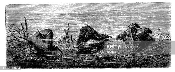 antique botany illustration: water caltrop, trapa natans - trapa stock illustrations