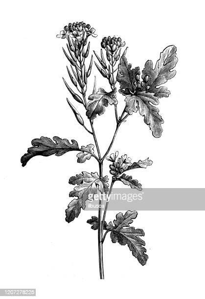 ilustrações, clipart, desenhos animados e ícones de ilustração antiga de botânica: mostarda branca (sinapis alba) - bok choy