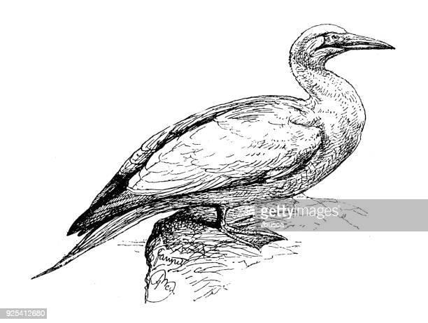 antique children book illustrations: gannet - gannet stock illustrations