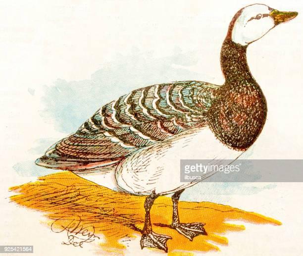 Antique children book illustrations: Goose