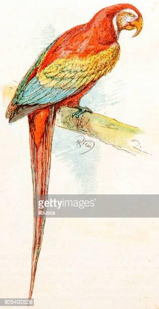 antique children book illustrations: parrot - parrot stock illustrations, clip art, cartoons, & icons