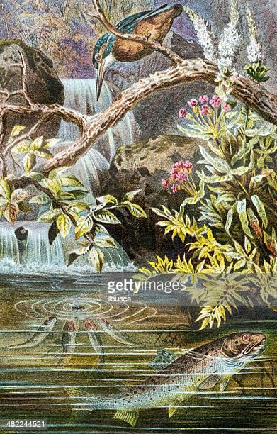 Antique color illustration of brown trout (Salmo trutta)