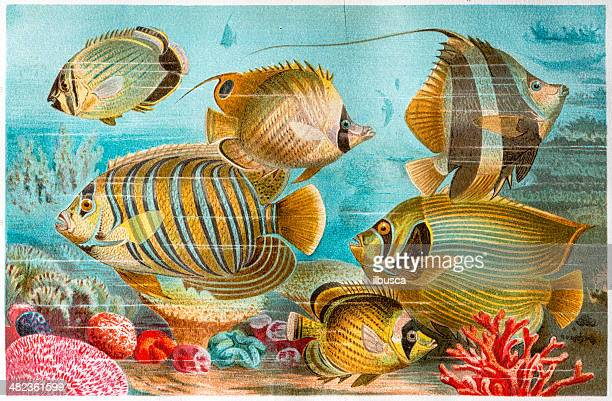 antique color illustration of butterflyfish, coralfish and angelfish - butterflyfish stock illustrations, clip art, cartoons, & icons