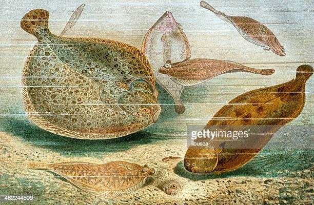 Antique color illustration of flatfishes (Pleuronectiformes)