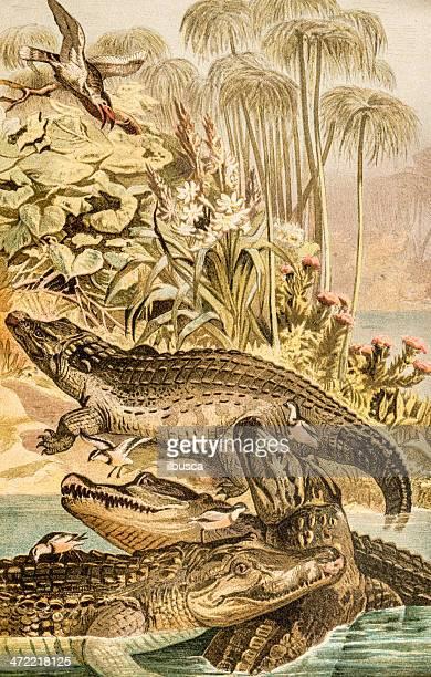 antique color illustration of nile crocodile (crocodylus niloticus) - nile river stock illustrations, clip art, cartoons, & icons