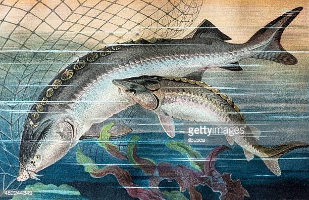 antique color illustration of sturgeon (acipenseridae) - sturgeon fish stock illustrations