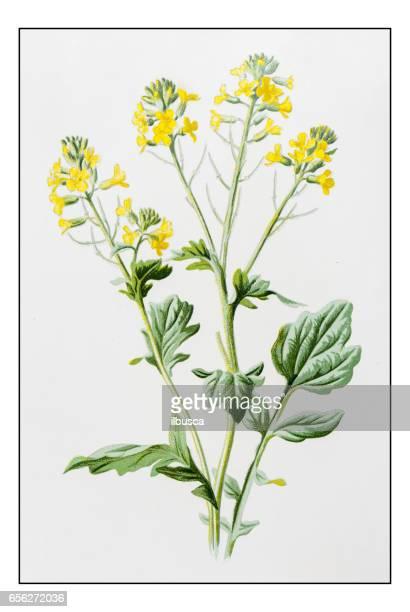 アンティーク色の植物花図: ハルザキヤマガラシサポニン尋常性 (bittercress、ハーブ バーバラ) - 19世紀点のイラスト素材/クリップアート素材/マンガ素材/アイコン素材