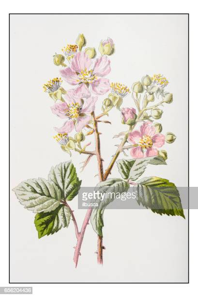antique color plant flower illustration: bramble blackberry - plant attribute stock illustrations, clip art, cartoons, & icons