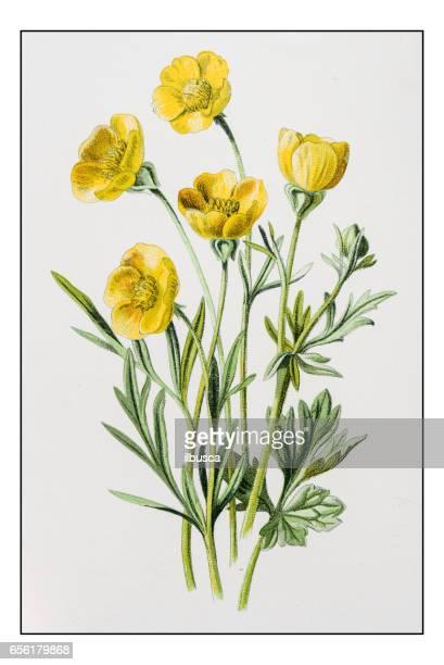 Antique illustration de fleur plante couleur: Crowfoot bulbeux ou renoncule (Ranunculus)