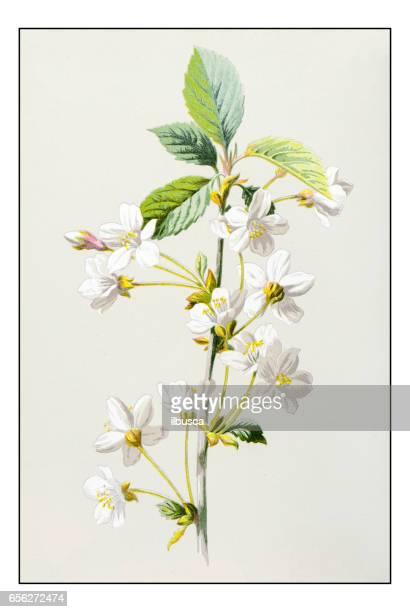 Antique illustration de fleur plante couleur: cerise