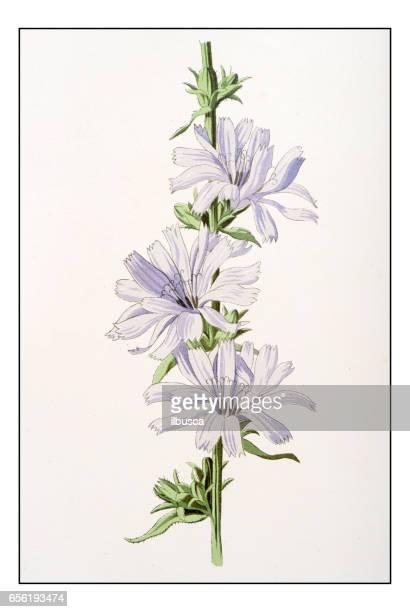ilustrações, clipart, desenhos animados e ícones de antique cor planta flor ilustração: chicória - endive