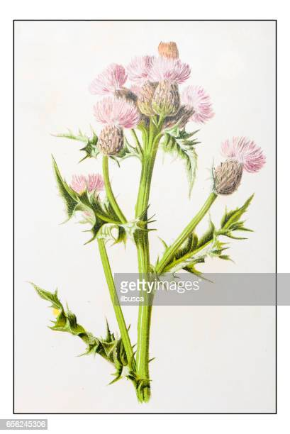 antique color plant flower illustration: cirsium arvense (creeping thistle) - chickweed stock illustrations, clip art, cartoons, & icons