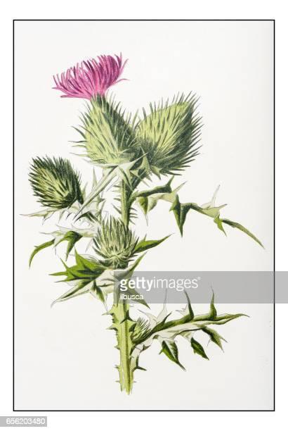 antique color plant flower illustration: cirsium vulgare (spear thistle) - thistle stock illustrations, clip art, cartoons, & icons