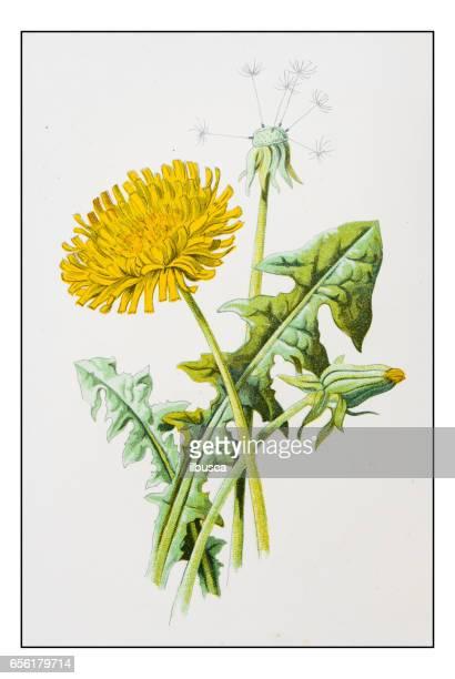 illustrations, cliparts, dessins animés et icônes de antique illustration de fleur couleur plante: pissenlit (taraxacum officinale) - fleur de pissenlit