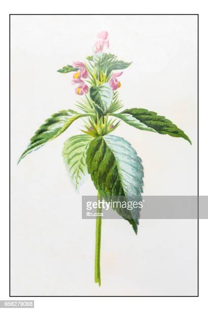 antique color plant flower illustration: galeopsis tetrahit (common hemp-nettle) - hemp stock illustrations, clip art, cartoons, & icons