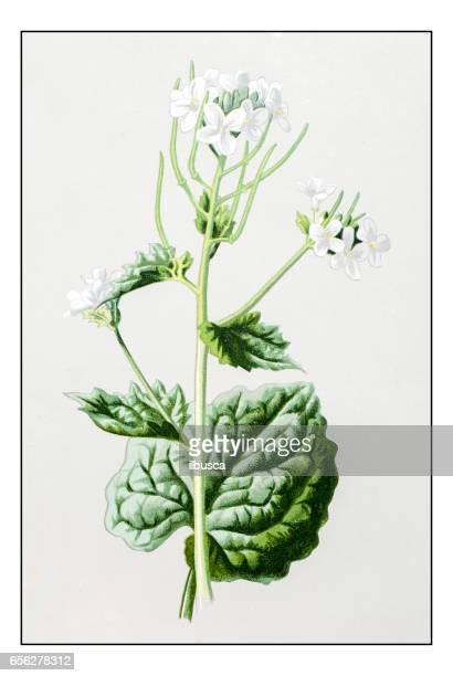 Antique color plant flower illustration: Garlic Mustard (Alliaria petiolata)