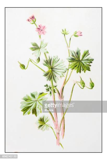 bildbanksillustrationer, clip art samt tecknat material och ikoner med antika färg växt blomma illustration: geranium molle (dove-fots kranens-bill) - midsommarblomster