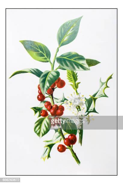 アンティーク色の植物花イラスト: ホーリー (モチノキ) - 19世紀点のイラスト素材/クリップアート素材/マンガ素材/アイコン素材