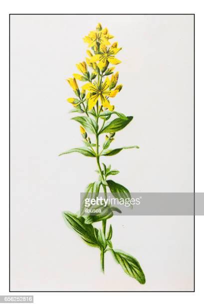 ilustraciones, imágenes clip art, dibujos animados e iconos de stock de antigua ilustración de flor de planta color: hypericum hirsutum (peluda st-hierba de juan) - san juan bautista