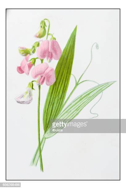 Antique color plant flower illustration: Lathyrus sylvestris (flat pea)