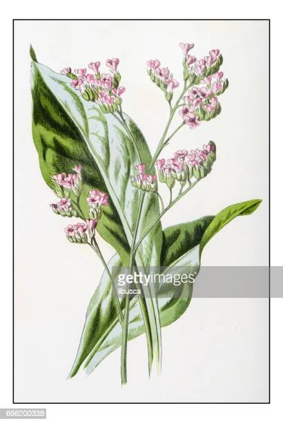 ilustraciones, imágenes clip art, dibujos animados e iconos de stock de antigua ilustración de flor de planta color: limonium (lavanda de mar) - lavanda