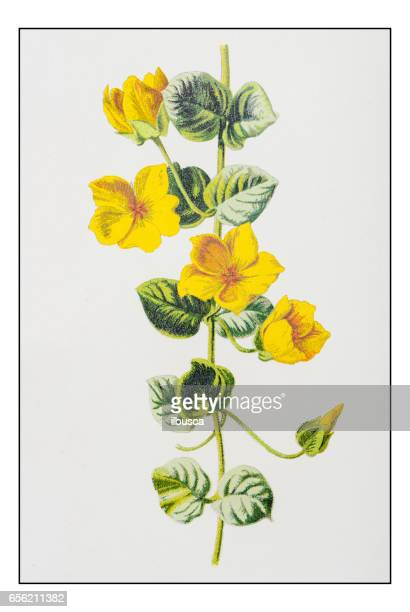 Antique color plant flower illustration: Lysimachia nummularia (creeping jenny, moneywort)