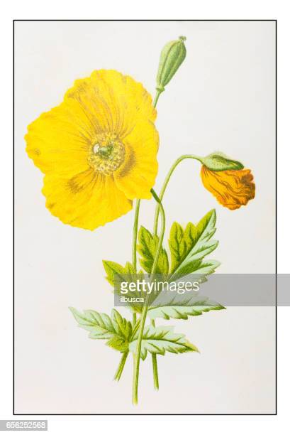 antique color plant flower illustration: mountain poppy - poppy stock illustrations, clip art, cartoons, & icons