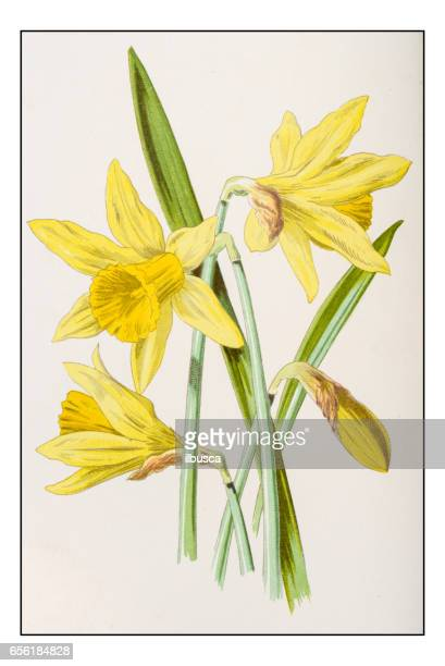 antique color plant flower illustration: narcissus (daffodil) - daffodil stock illustrations, clip art, cartoons, & icons
