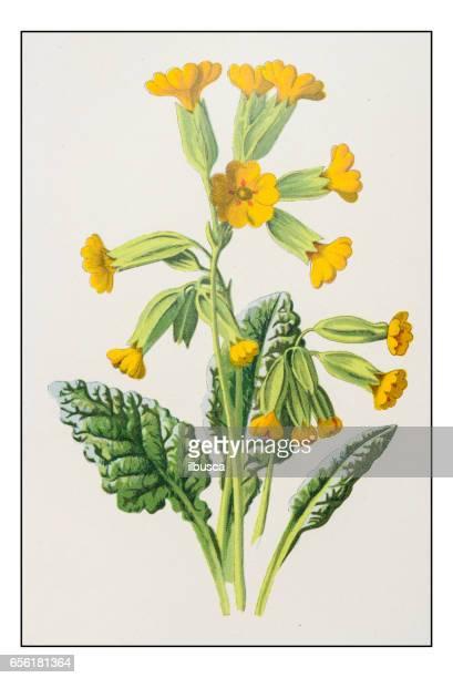 Antique color plant flower illustration: Primula veris (cowslip)