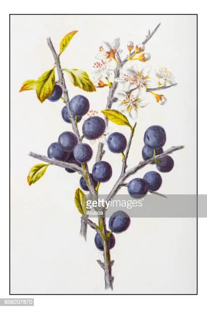 Antique color plant flower illustration: Prunus spinosa (blackthorn or sloe)