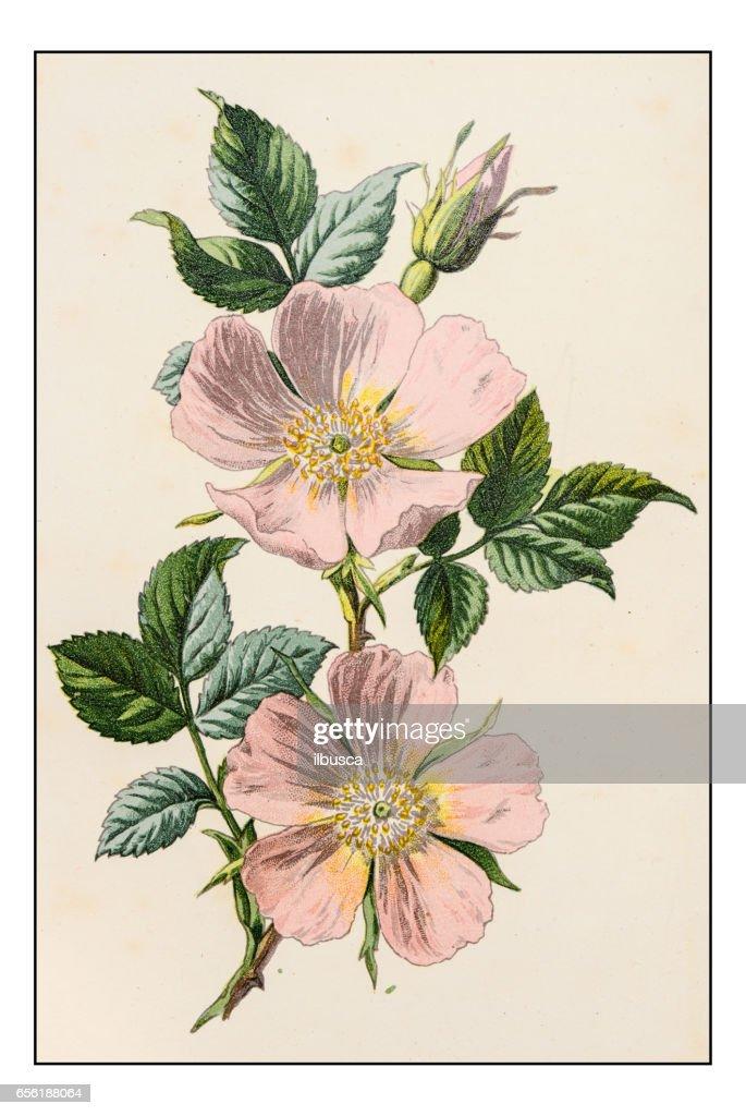 Antique color plant flower illustration: Rosa canina (dog rose) : Stock Illustration