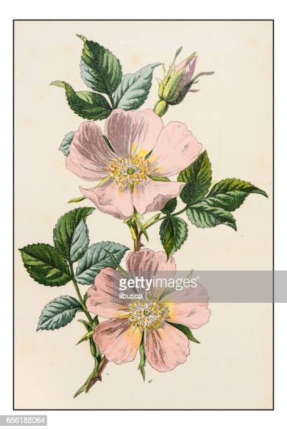 Antique color plant flower illustration: Rosa canina (dog rose)