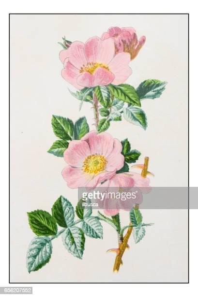 antique color plant flower illustration: rosa rubiginosa (sweet briar) - antique stock illustrations, clip art, cartoons, & icons