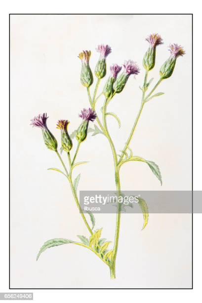 antique color plant flower illustration: serratula tinctoria (saw-wort) - sandwort stock illustrations, clip art, cartoons, & icons