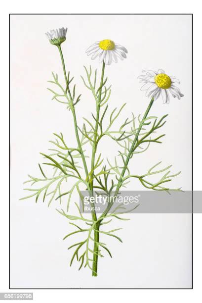 antique color plant flower illustration: tripleurospermum inodorum (scentless false mayweed) - daisy stock illustrations