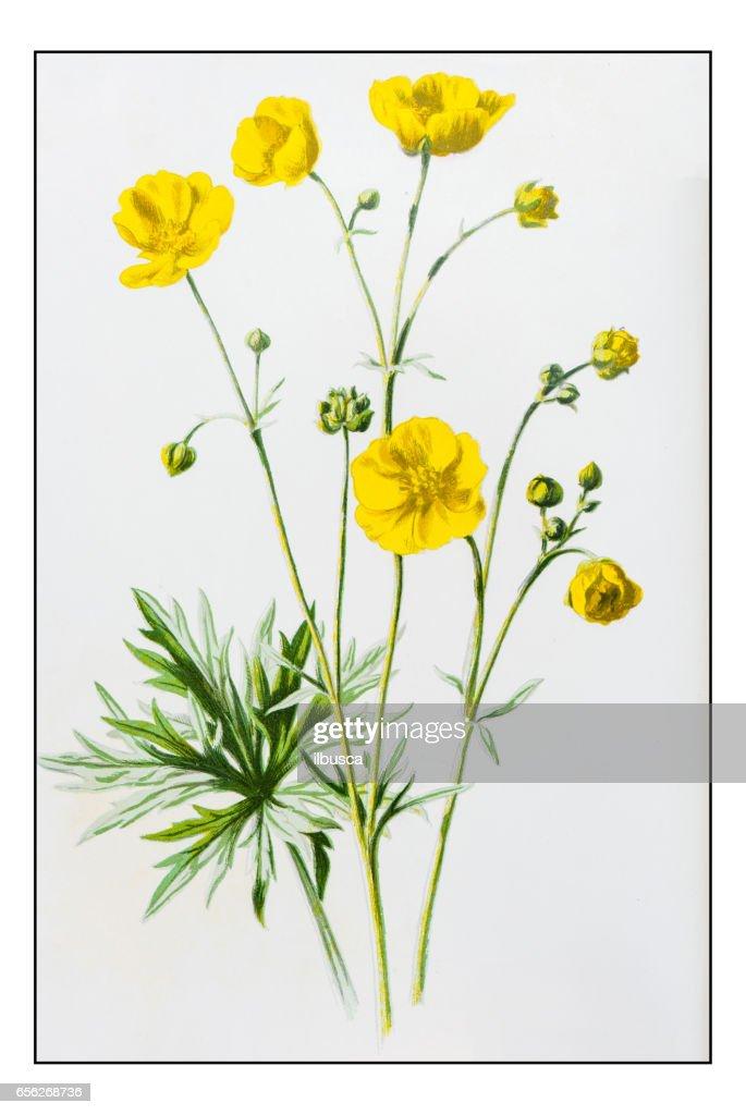 Antique color plant flower illustration: Upright Meadow Crowfoot (Ranunculus Acris) : stock illustration