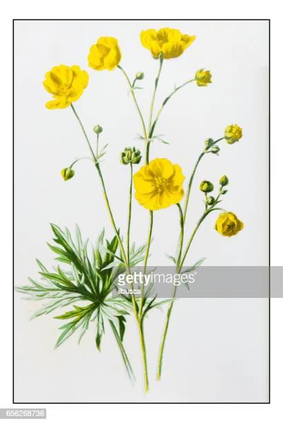 antique color plant flower illustration: upright meadow crowfoot (ranunculus acris) - buttercup stock illustrations, clip art, cartoons, & icons